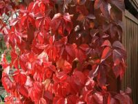 red leaves -challenge