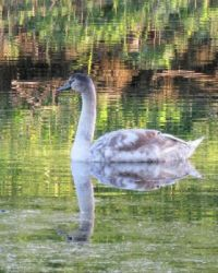 young swan refelected