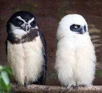 Spectacled Owls - mother and baby - by Steve Wilson