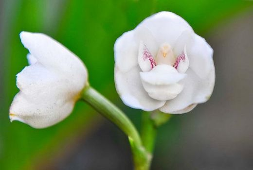 Orchid-Dove or Holy Ghost Orchid