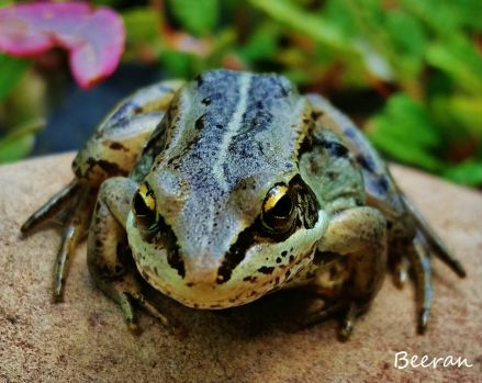 Northern Wood Frog