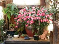 """Holiday Cactus"""