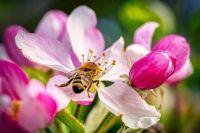 Bee On An Apple Blossom