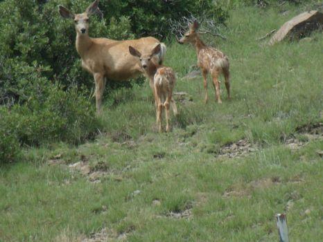 Deer on the Mesa