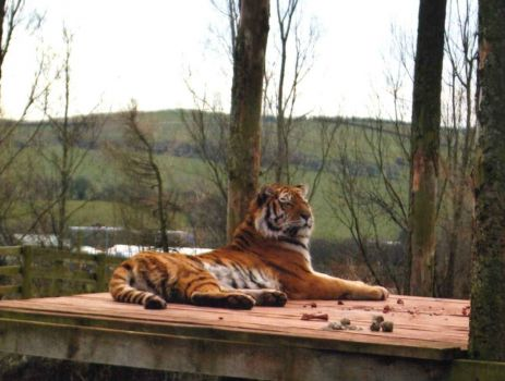 Tiger at Lakeland Zoo