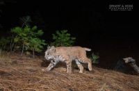 Bobcat passing by