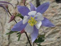 Columbine Bloom Longs Peak Trail Rocky Mountain NP