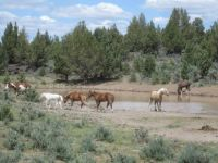 Wild Horses of Oregon with a new foal May 2015