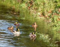 A group of ducks swimming along a brook