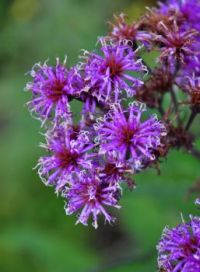 Tall Ironweed by Ed