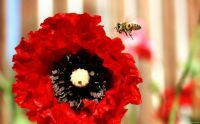 Bee approaching poppy.....
