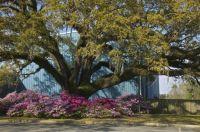 Live Oak with Azaleas - South Carolina