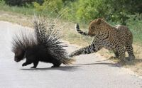 The Leopard and the Porcupine