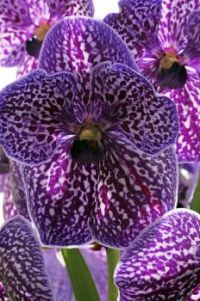 Magnificient !   Exotic Vanda Purple.