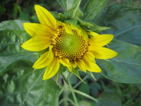 a stray sunflower