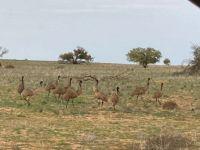Flocking emus :)