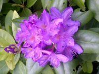 Portland Oregon Rhododendron