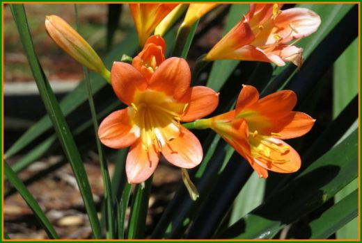 Clivea lilies ...