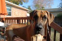 Great Dane Puppy - Oliver