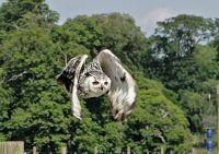 Owl_flight
