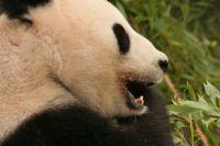panda vienna