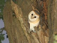A UK Barn Owl picture found at www. raptorrescue.org.uk