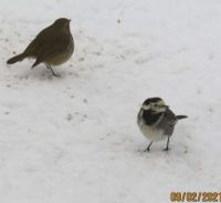Robin and Pied Wagtail stand off