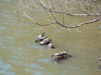 Painted turtles.