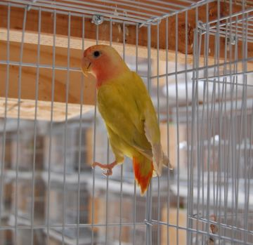 My newest Lovebird baby.  Isn't she pretty?