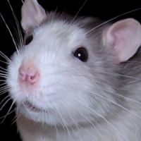 Otis the Rat