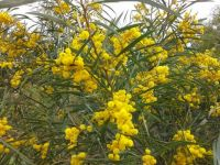 Western Australia Wattle in full bloom