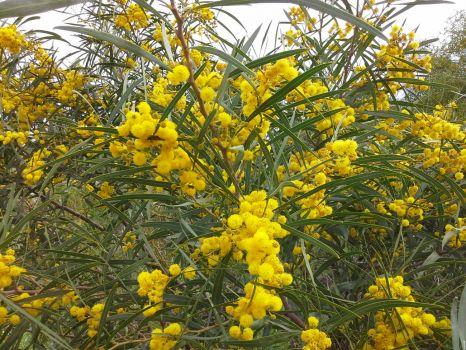 Western Australia Wattle in full bloom