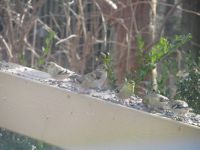 Feeding the Birds. Six Hungry Finches.