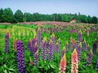Blossoming Lupine, North Granville, Prince Edward Island