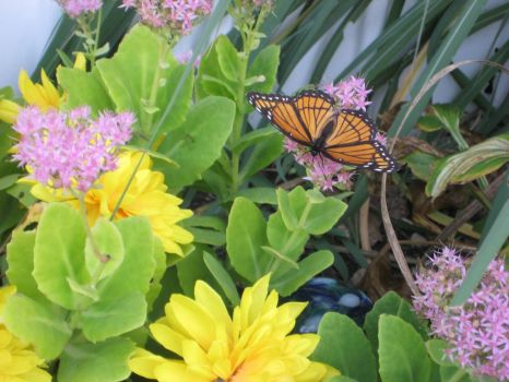 Monarch Butterfly on my Everlasting, in my garden