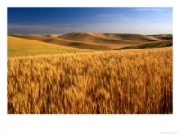 Wheat Field in Eastern, Wash. State