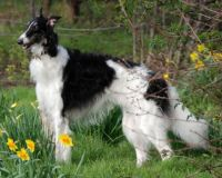 Moon Rainbow Diamond Shine - Russian Borzoi