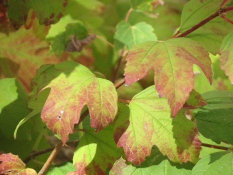 Viburnum Leaves Changing Color