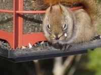 Red squirrel on critter feeder