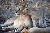 Family of Lionesses and Cubs