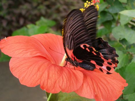 Motýl na ibišku