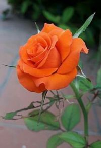 Perfect Orange Rose.