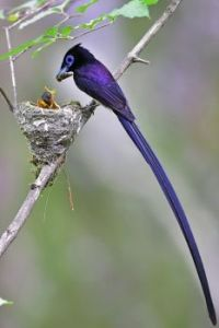 Black Paradise Flycatcher