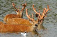 Deer cooling off