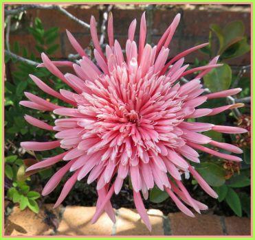 Fancy pink Gerbera...