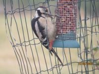 The second Juvenile Greater Spotted woodpecker