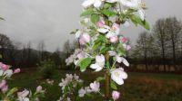 Cortland Apple Blossoms 1