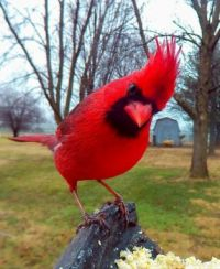 Cardinal by Greg Chaney, Indiana