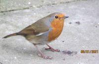 Robin still in Christmas card mode