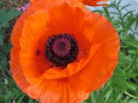 Bright Orange Poppy